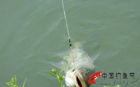 夏季钓鲢鳙鱼的技巧详细分析